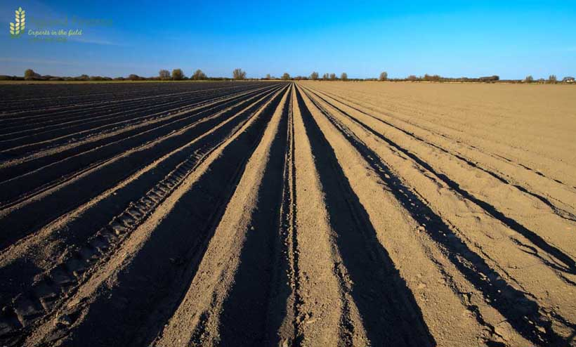 Cultivated new potato field in spring time
